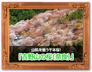 吉野山の桜(奈良)