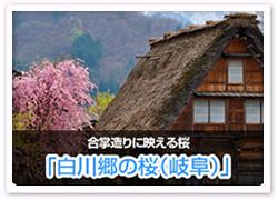 白川郷の桜(岐阜)