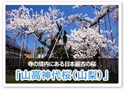 「山高神代桜(山梨)」