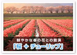 桜+チューリップ