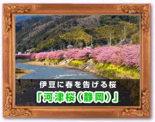 「河津桜(静岡)」